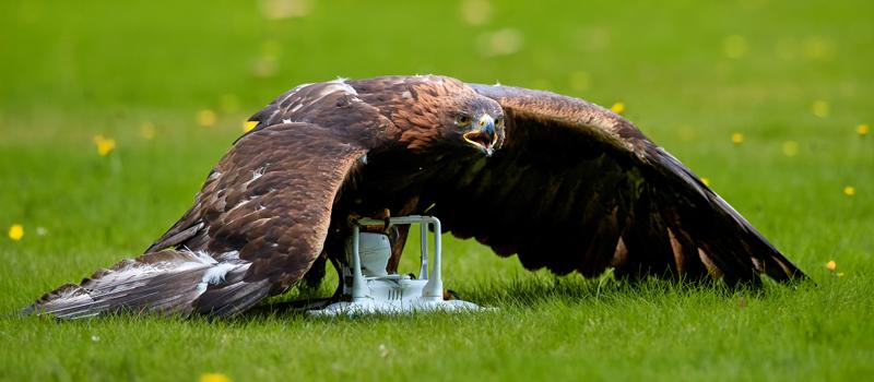 Risks-of-flying-drones-near-birds